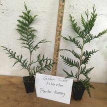 Green Giant Arborvitae 25 plants Thuja plicata 3 inch pot image 2