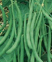 SHIP From US, 200 Seeds Contender Green Bean Seeds, Vegetable Seed AM - $60.99