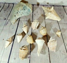 Lot Of 12 Conch Shells - $24.74