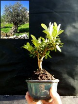 Bonsai - Amazing tree - Special plant - From the private collection - $76.70