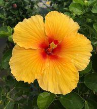 Hibiscus Rosa-Sinensis 'Joanna' Live Plant – Southstr - $37.55