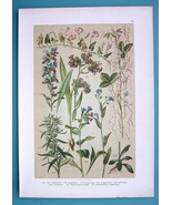 BOTANICAL PRINT 1896 Color Litho - Lungwort Bugloss Forget me Not Bindweed - $13.77