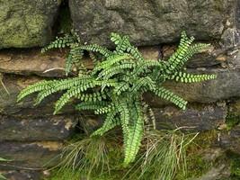 Maidenhair SPLEENWORT fern 10 rhizome-(asplenium platyneuron) image 2
