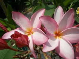 Aloha Rare, Fragrant & Exotic Hawaiian Plumeria Frangipani cutting - $19.95