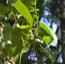 5 Pcs Seeds Dutchman's Pipe Vine Exotic Aristolochia Tagala Flower - DL - $16.00