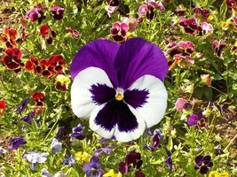 SHIPPED FROM US 5,000 Pansy Swiss Giants Mix Seeds, ZG09 - $47.16