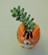 """Donkey's Tail Succulent in Tiger Planter, Sedum Morganianum 2"""" Orange Ceramic image 3"""