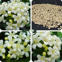 New Murraya Paniculata Orange Jessamine Evergreen Plant, 5 Seeds Home an... - $8.54