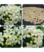 New Murraya Paniculata Orange Jessamine Evergreen Plant, 5 Seeds Home an... - $8.54