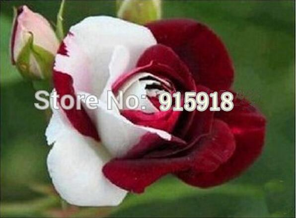 Flower seeds 200Pcs jade gemstone rose bush flower seeds 400 seeds potted plants