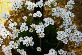 10 Androsace darwasica Seeds,Rock Jasmine Seeds, Alpine Plant Seeds - $8.00