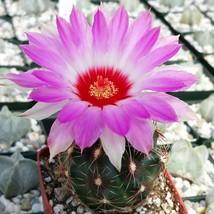 Thelocactus bicolor schwarzii Live Plant Cactus Cacti Succulent Real  - $35.89