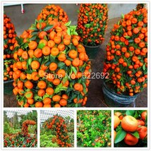 BEST PRICE 40 seeds Thailand Mini Kiwi and Orange Fruit, FS DIY Fruit Seeds - $6.55