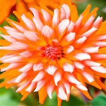 200 Pcs / Bag Dahlia Flower plants Mixed Colors (10), HZ Beautiful Flowe... - $8.89