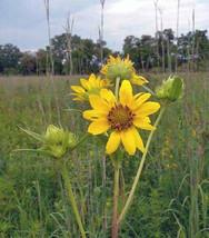 Helianthus giganteus Giant Tall Sunflower 10 Seeds - $7.93