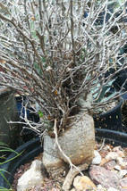 Fouquieria (Idria) columnaris Boojum Tree Thick Fat Trunk Succulent Plan... - $395.95