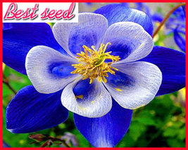 Rare Aquilegia Blue Columbine Perennial Flower Seeds, Professional Pack, 50 Seed - $3.99