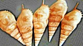"""5 Tibia Seashell Cut 5"""" Long-Fish-Ocean- Beach-Shadow Box-Crafts--Nautical - $20.99"""