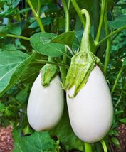 SHIP From US, 10 Seeds Brinjal White Round Eggplant, DIY Healthy Vegetab... - $18.99