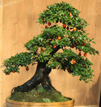 5 Diospyros cathayensis seeds Bonsai / Tree Fruit is edible  - $5.97