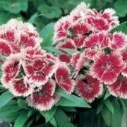 25 Seeds Dianthus Ideal Series Cherry Picotee Annual
