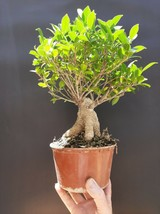 Ficus Microcarpa Live Bonsai - Natural bonsai for Professionals very old plant - $168.00