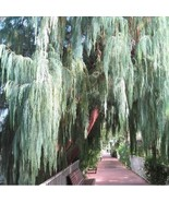Kashmir Weeping Cypress Tree Seeds (Cupressus cashmeriana) 20+Seeds - $21.98