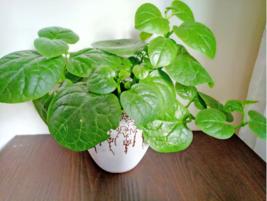 100PCS /bag Heirloom Green Malabar Spinach Vegetable Bonsai Potted Spina... - $2.72