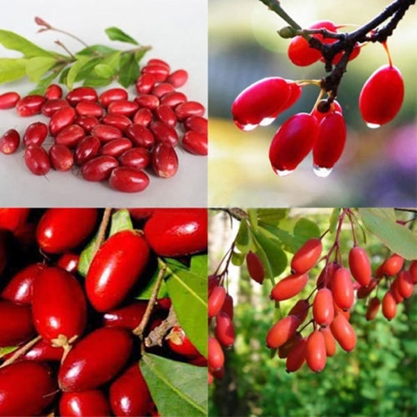 Primary image for Miracle Fruit Plant (Synsepalum dulcifcum) Berry Bonsai tropical tree TkEpots