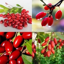 Miracle Fruit Plant (Synsepalum dulcifcum) Berry Bonsai tropical tree Tk... - $61.50