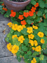 nasturtium, JEWEL MIX, EDIBLE FLOWER, 30 SEEDS! - $13.35