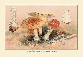 Amanita Muscaria Poisonous by W. Hamilton Gibson - Art Print - $19.99+