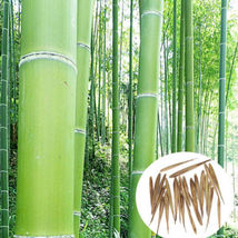 100 Seeds Phyllostachys Pubescens Moso-Bamboo Seeds  - $3.99