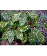 Gold Dust Plant aka Aucuba japonica Live Plant Fit 1 Gallon Pot - $10.39