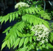 Curry Leaf Tree (Murraya Koenigii) - Starter Plant - $35.00