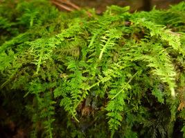 1 Qt Sheet Moss Delicate Fern Moss Spreads Fast! Organic - $14.98