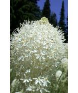 100 Pcs Seeds Xerophyllum Tenax Bear Grass Aka Bear Lily Ornamental Flow... - $16.00