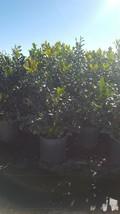 Nellie R Stevens Holly Big Healthy 3 Gal. Shrub Plant Large Plants Hedge... - $53.30