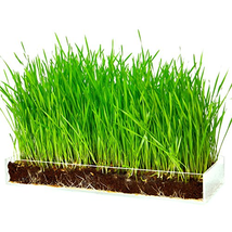 Organic Wheatgrass Growing Kit with Style – Plant an Amazing Wheat Grass... - €27,52 EUR