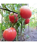 Rose de Berne - the classic pink tomato from Switzerland - $4.75