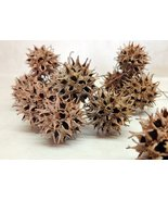 Sweet Gum/Monkey Balls Pods