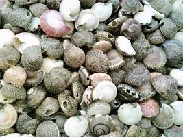 Button Sea Shell Craft Specimen Jewelry  - $12.01