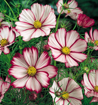Picotee Cosmos Seeds Party Favors, Wedding Favors, Showers, Gift Bag Fil... - $49.47
