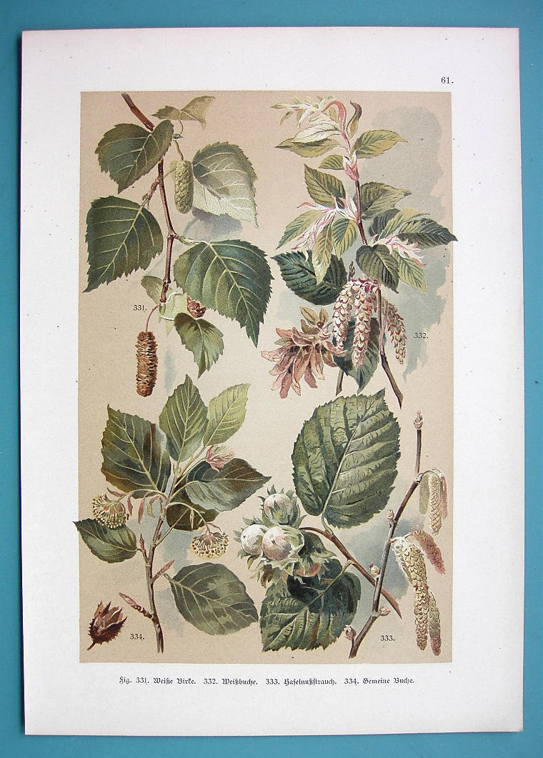 BOTANICAL PRINT 1896 Color Litho - Trees Birch Filber Nuts Beech Hornbeam