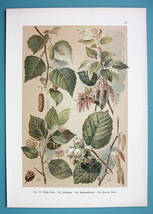 BOTANICAL PRINT 1896 Color Litho - Trees Birch Filber Nuts Beech Hornbeam - $16.20