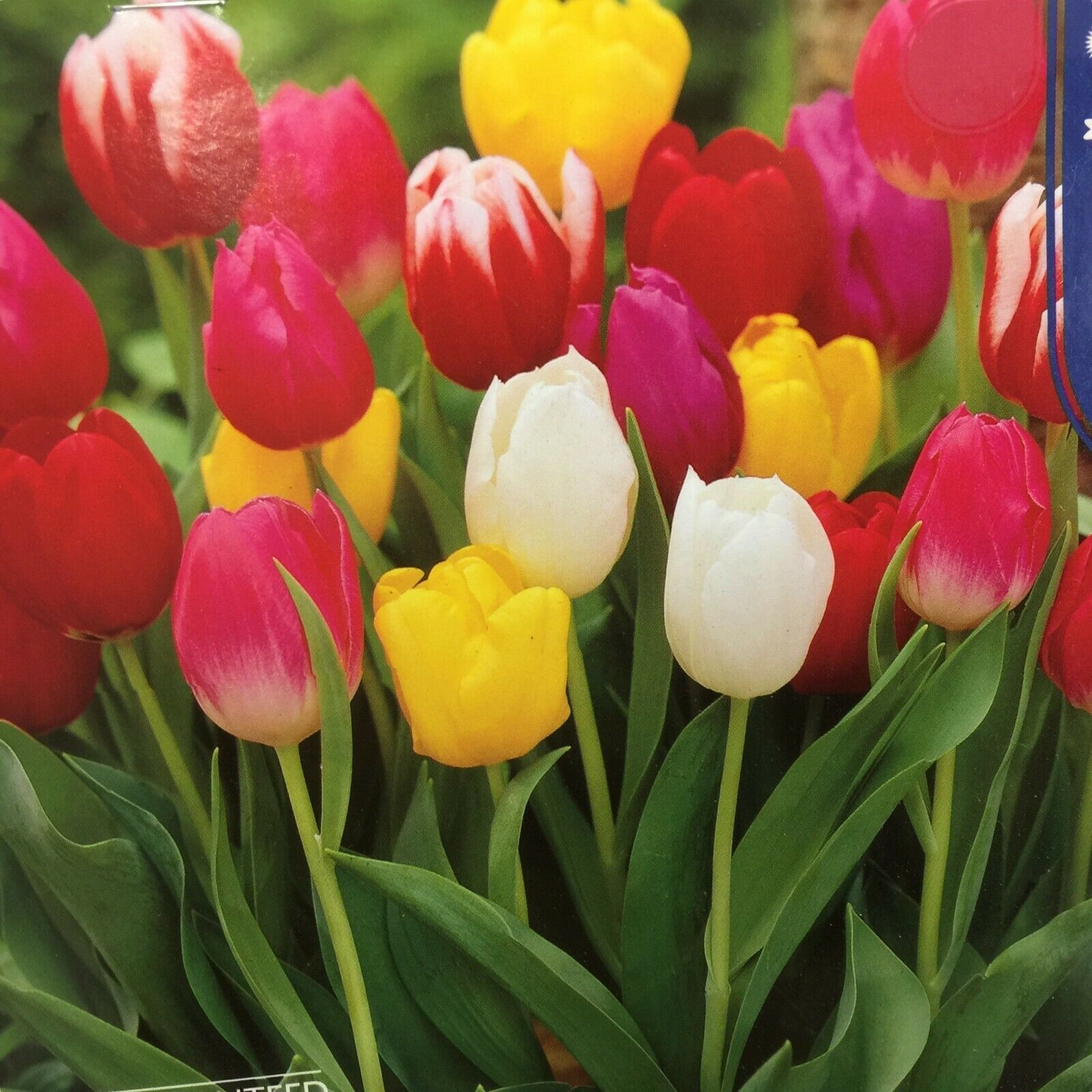 Tulip Mix Early Spring bloomers 3 bulbs
