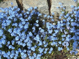 Shipped From Us 1000 Forget Me Not Myosotis Alpestris Seeds, LC03 - $15.00