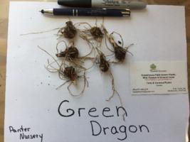 5 Green Dragon bulbs (Arisaema dracontium) image 7