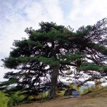 20 RED JAPANESE PINE TREE seeds Korean Pinus Densiflora Evergreen USA SE... - $7.98
