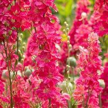 100 Bright Pink Delphinium Seeds Perennial Garden Flower Bright Seed - TTS - $23.95